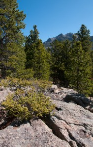 jJnniper grows tenaciously on granite, May in the Rocky Mountains, Estes Park, Colorado, USA