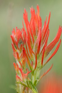 Paintbrush, summer morning at Hermit Park in the Rocky Mountains near Estes Park, Colorado, USA